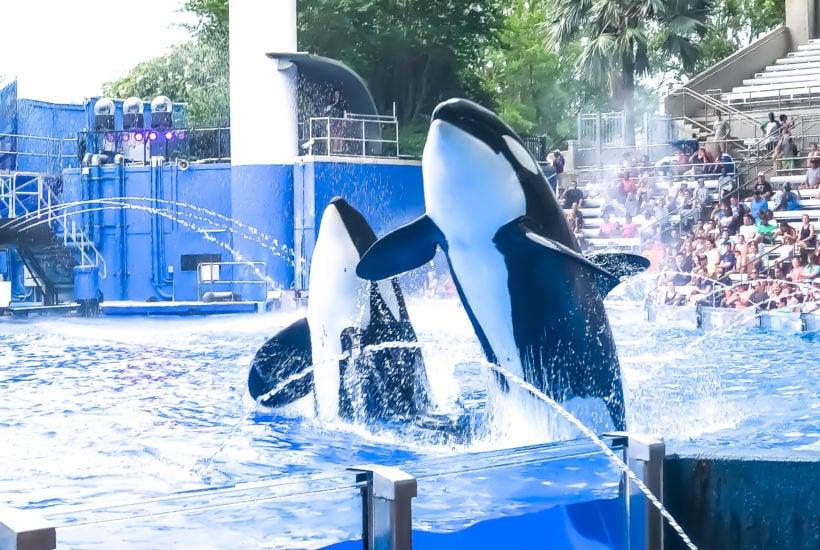 Killer Whale Show at Sea World
