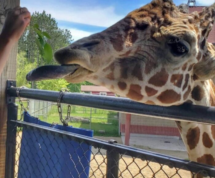 Feed the giraffes at the Green Bay zoo with your kids